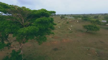 aridez : Many cows graze on green hills in the daytime Stock Footage