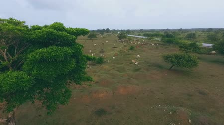 aridez : Many cows graze in the steppe in the daytime