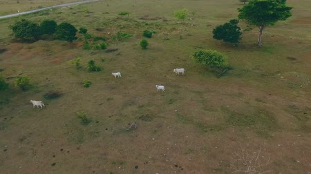 aridez : Cows graze in the steppes in the daytime Stock Footage