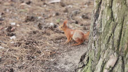 kahverengi : Young squirrel hiding behind a tree and escapes Stok Video
