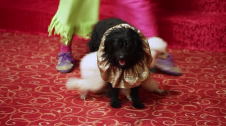 deneme : Two well-dressed dog stand on childrens birthday party Stok Video