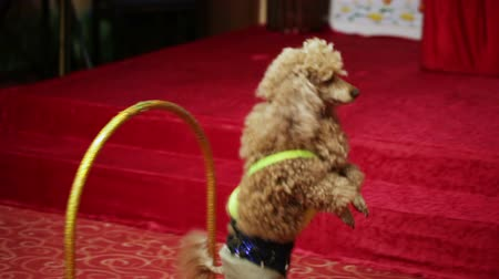 domestic animals : Beautifully dressed red poodle passes through arches Stock Footage