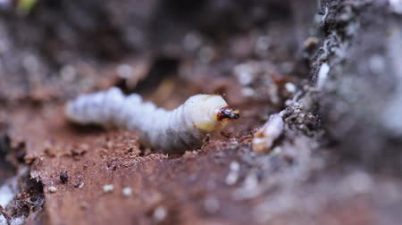 squirm : lying on wood May beetle larva