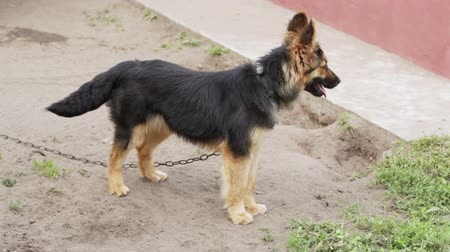 almanca : Dog on a chain barks, escapes and returns Stok Video