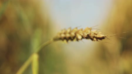 centeio : Focus with wheat spikelets moves on a track through the wheat field