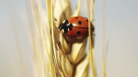 katicabogár : On wheat spikelet crawling ladybug Stock mozgókép