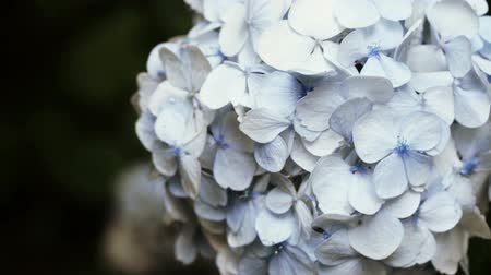 hortensia : In Batumi Botanical Garden Hydrangea bush tree