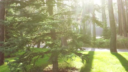 rekreasyon : Slow motion path between pine trees in recreation in backlight Stok Video