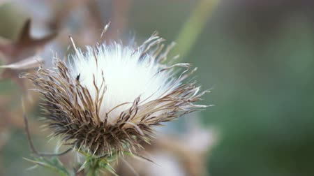 briar : Dead Headed Thistle flowers in park