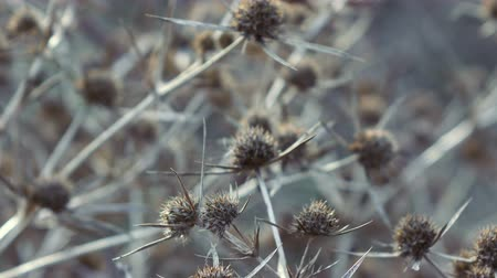 morte : Dead Flowers Headed Thistle nel parco Filmati Stock