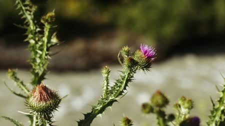 devedikeni : On shore mountain river growing thistle Stok Video