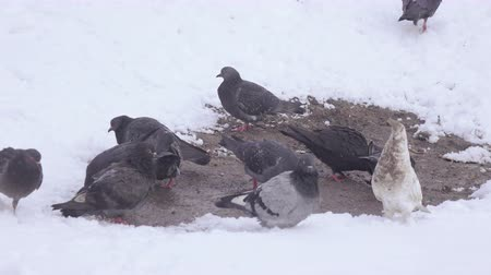 small group of animals : Pigeons in snow winter