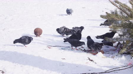 zimní : Pigeons in snow winter