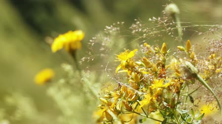 calendula officinalis : Calendula officinalis in an alpine meadow Stock Footage