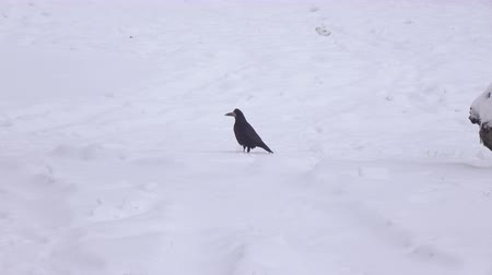 melankoli : Crow and dog in snow