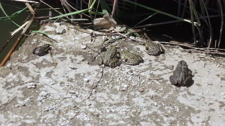 sivilceli : River frog on shore Stok Video