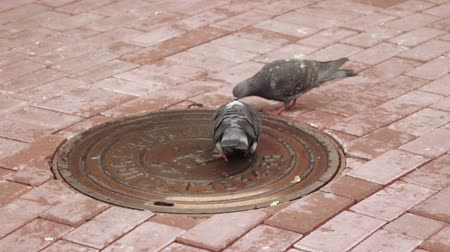 dovetail : Pigeons drinking water