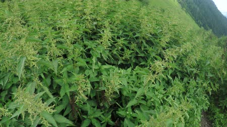 nebraska : Thickets of cannabis in summer Stock Footage