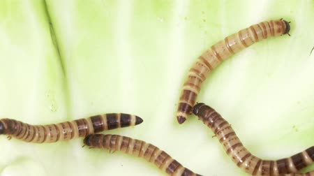 chrysalis : Zofobas larvae on cabbage