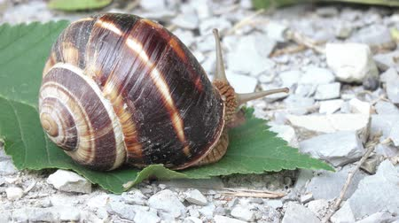 měkkýšů : Grape snail with shell