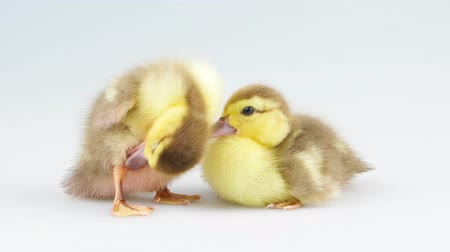 patinho : New born two cute duckling sitting in the studio