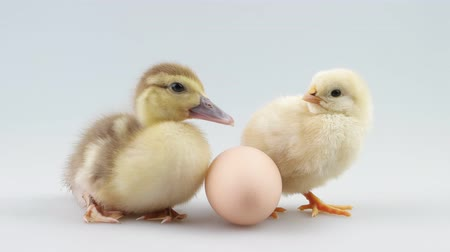 patinho : Little duckling and chicken sitting near egg and looking around