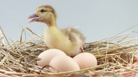 young bird : Duckling sits in nest near eggs and quacks Stock Footage