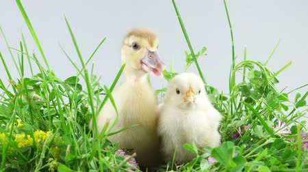 young bird : Easter holiday, little chicken and duckling sits in the grass and screaming