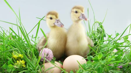 ducky : Two ducklings sits and celebrate Easter