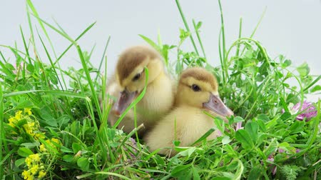 ducky : Funny two ducklings sitting and one of them eats a stalk of grass and quacks