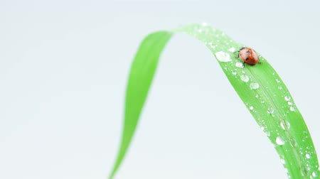 joaninha : Ladybug walking up on the green grass with drops Stock Footage