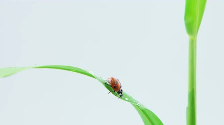 katicabogár : Ladybug walking on the green leaf of grass with drops, light background