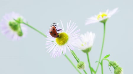 katicabogár : Ladybug taking off on the chamomile flower (include slowmotion version), light background Stock mozgókép