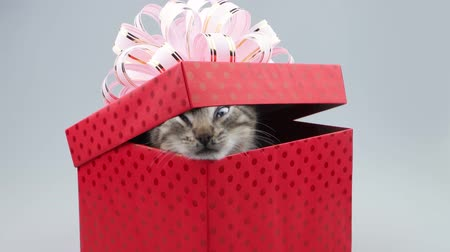 kimse : Present box with little kitten, mewing and get out
