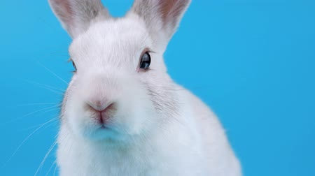 cheirando : Close-up face of a white rabbit, looking around and sniffing, on blue chroma key Stock Footage