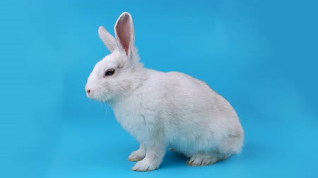 tenso : White bunny sits sideways, looking around and sniffing, ready for chroma key