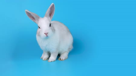 cheirando : Small white rabbit sits sideways, looking to the camera and sniffing, blue screen ready for chroma key