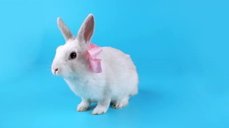 cheirando : Cute white rabbit with pink bow, licking his lips, sniffing, looking around, ready to be keyed