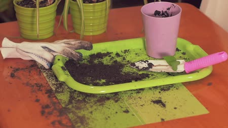 nedvdús : Black soil is strewed on a green tray from above. Composition with pots of household plants, shovel with handle Rozwi, pink glass pot, black soil, slow motion Stock mozgókép