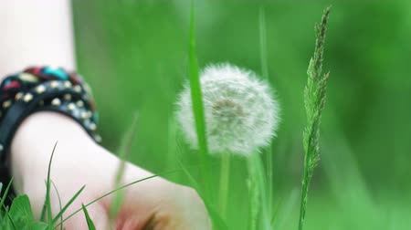 dilek : Beautiful woman hand tears off blooming dandelion from green grass. Summer
