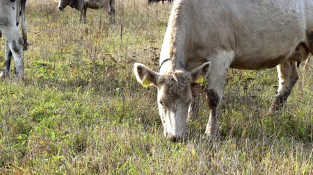 cow eats : a beige cow walks in the autumn meadow and eats grass on a free pasture, close up photos Stock Footage
