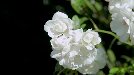briar : Beautiful white rose shrub. Close-up on a black background.