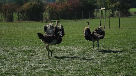 avestruz : Ostrich farm. The ostrich is dancing. Mating season.