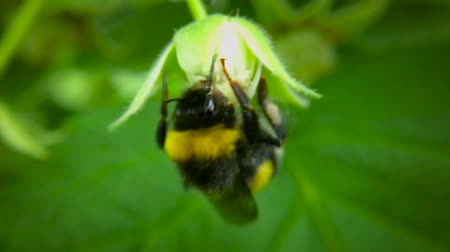 brute : Bumblebee gathers nectar from raspberry bushes. Slow motion. Blurred background.