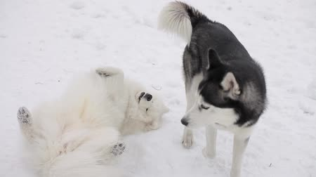 samoyed : Husky and Samoyed playing in the snow. Stock Footage