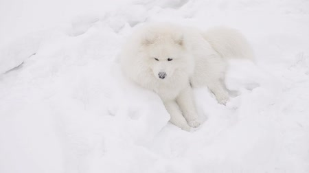 samoyed : Samoyed buries his toy in the snow. In the background is a dog breed Husky. Stock Footage