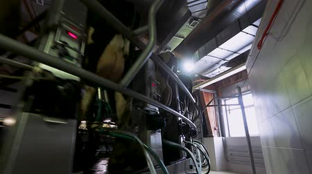 smoczek : Cow milking on modern farm. Dairy cows at dairy factory. Process milking cows. Dairy cows on milking machine. Automated equipment for milking cows on dairy farm. Wideo
