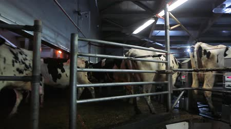 emme : Cow milking on modern farm. Dairy cows at dairy factory. Process milking cows. Dairy cows on milking machine. Automated equipment for milking cows on dairy farm. Stok Video