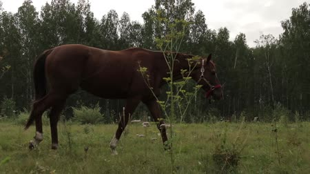 juba : Horses grazing sappy grass in green lawn at a birch forest Stock Footage