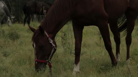 Horses grazing sappy grass in green lawn at a birch forest Stockvideo